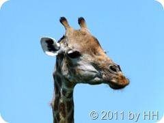 Giraffe_nah