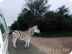 MorningWalk_die_ersten_Zebras